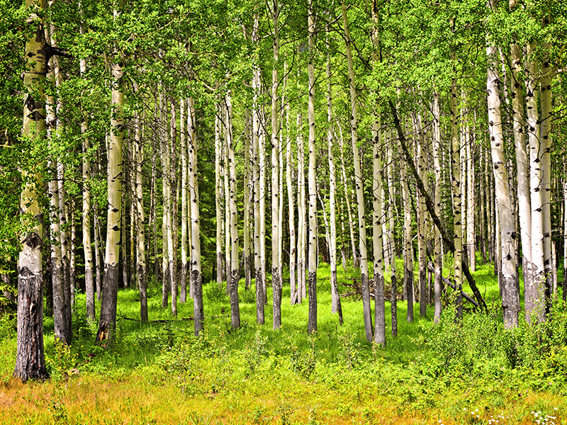 Forest of tall white aspen trees in Banff National park, Canada