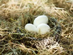 Three white eggs in the straw nest